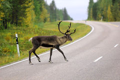 Wild reindeer crossing the road in the Sweden Royalty Free Stock Photos