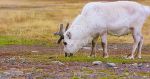 Wild reindeer eating in the in the arctic nature stock footage