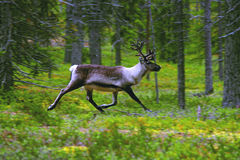 Wild reindeer in forest. Royalty Free Stock Images