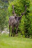 Reindeer on the meadow Stock Photography