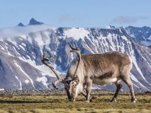 Wild reindeer in natural Arctic environment - Svalbard Royalty Free Stock Image