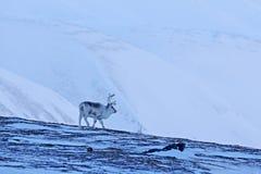 Wild Reindeer, Rangifer tarandus, with massive antlers in snow, Svalbard, Norway. Svalbard deer on rocky mountain in Svalbard. Wil Royalty Free Stock Images