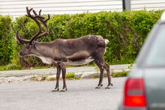Reindeer on the road Stock Photography