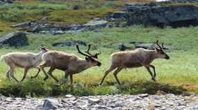 Wild reindeer running, Kungsleden hiking trail, Sweden Stock Photo