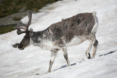 Wild reindeer on the snow - Arctic Stock Photos