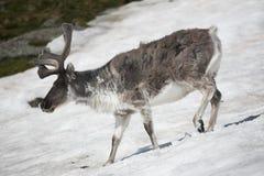 Wild reindeer on the snow - Arctic stock photos