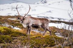 Wild Reindeer at Snow Mountain in Tromso, Norway Royalty Free Stock Photo