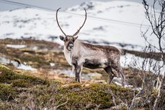 Wild Reindeer at Snow Mountain in Tromso, Norway Stock Photography