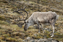 Wild reindeer in Spitzbergen Stock Photo