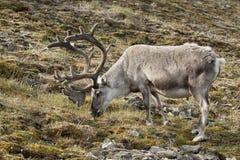 Wild reindeer in Spitzbergen Stock Photo