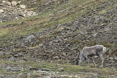 Wild reindeer in Spitzbergen Royalty Free Stock Photo