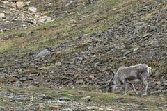 Wild reindeer in Spitzbergen Royalty Free Stock Photo