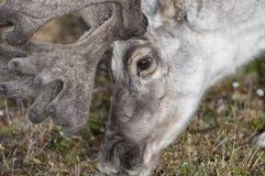Wild reindeer in Spitzbergen Royalty Free Stock Image