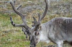 Wild reindeer in Spitzbergen Stock Photography