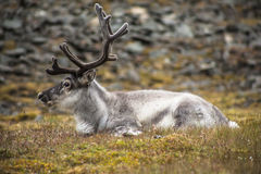 Wild reindeer on svalbard meadow Stock Images