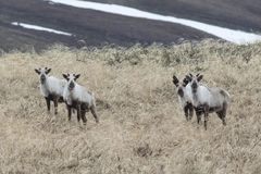 Wild reindeer on the tundra in the early spring on a cloudy Royalty Free Stock Photo