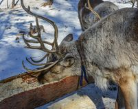 Wild reindeer at winter forest royalty free stock photo