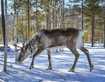 Wild reindeer at winter forest stock photo