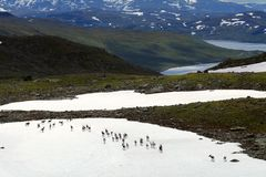 Wild reindeers Royalty Free Stock Photography