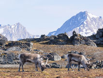 Wild reindeers at the front of the mountains - Arctic, Svalbard Stock Photos