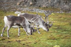 Wild reindeers in natural habitat (Arctic) Royalty Free Stock Photo