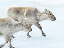 Wild reindeers searching for food - Svalbard Stock Image