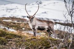 Wild Rendier bij Sneeuwberg in Tromso, Noorwegen stock fotografie