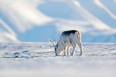 Wild Rendier, Rangifer-tarandus, met massieve geweitakken in sneeuw, Svalbard, Noorwegen Svalbard herten op rotsachtige berg in S royalty-vrije stock foto's