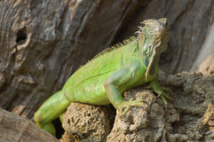 Wild Reptile Lizard Iguana. Under the Sun Stock Photos