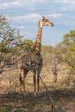 Wild Reticulated Giraffe  and African landscape in national Kruger Park in UAR Royalty Free Stock Images