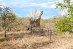 Wild Reticulated Giraffe  and African landscape in national Kruger Park in UAR Stock Photo