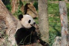 Wild Reuzepanda bear eating bamboo shoots royalty-vrije stock afbeeldingen
