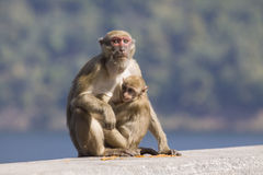 Wild Rhesus macaque monkey and young baby looking to monkey moth. Er eating some food Stock Photo