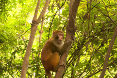 Wild Rhesus Monkey. A wild rhesus monkey hanging out in some trees in Zhangjiajie forest park in Hunan Province China Royalty Free Stock Photos