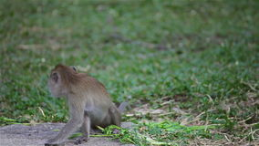 Wild rhesus monkey in natural sitting, chewing, looking around, find out something on ground, in HD stock video footage