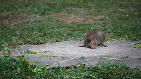 Wild rhesus monkey in natural sitting, chewing, looking around, find out something on ground, in HD stock video
