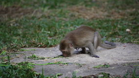 Wild rhesus monkey in natural sitting, chewing, looking around, find out something on ground, in HD stock footage