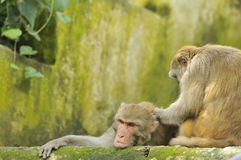 Wild rhesus monkeys Royalty Free Stock Photo