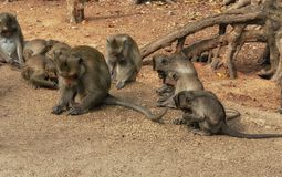Wild rhesus monkeys vietnam Royalty Free Stock Photography