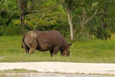 Wild rhino Royalty Free Stock Image