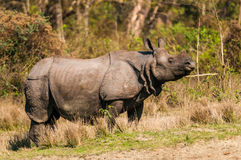 Wild Rhino Stock Photography