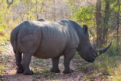 Wild rhino  and African landscape inl Kruger Park in UAR Royalty Free Stock Image