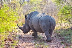 Wild rhino  and African landscape in Kruger Park in UAR Stock Photo
