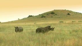 Wild rhino in grassland. Open grassland with two rhinos stock footage