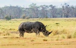 Wild Rhino in Kenya, Africa Stock Image
