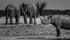 Wild Rhino Rhinoceros and elephants in Namiba Etosha park stock photos