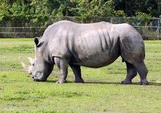 Wild rhino Stock Image