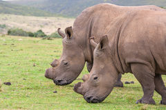 Wild rhino Royalty Free Stock Images