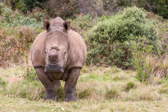 Wild rhino Stock Photography