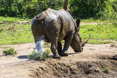 Wild rhinoceros, Africa Stock Photography